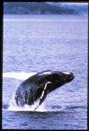 Breeching humpback whale near North Marble Island, Glacier Bay, Alaska