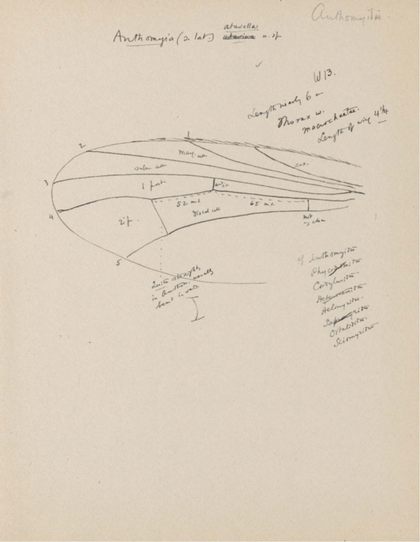 Notes on Anthomyia atavella