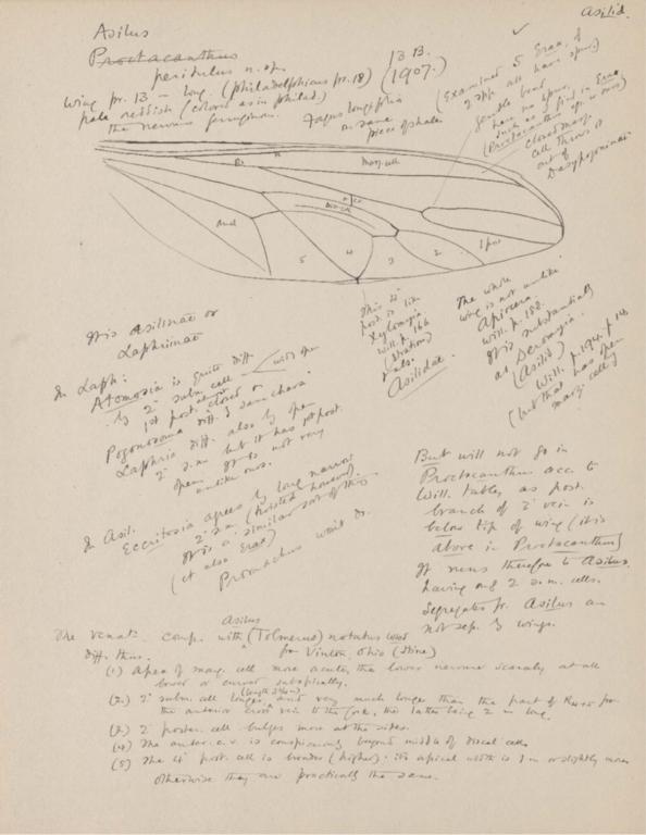 Notes on Asilus peritulus