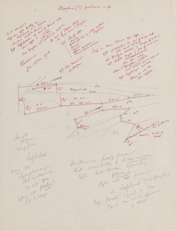 Notes on Dioctria (?) pulveris