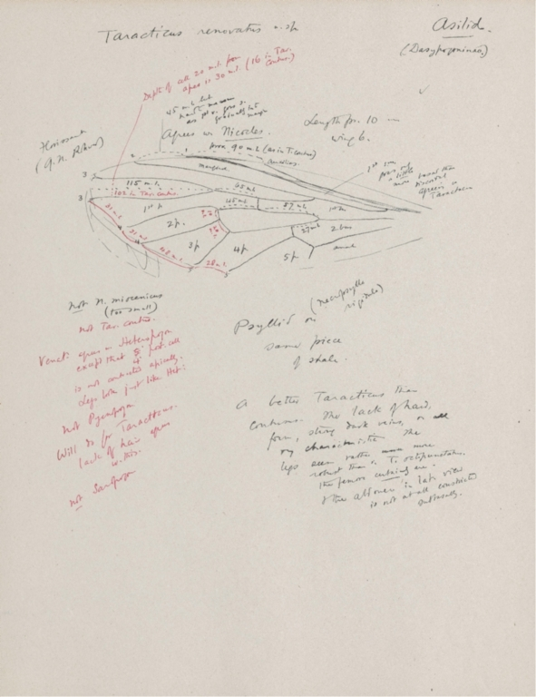 Notes on Taracticus renovatus