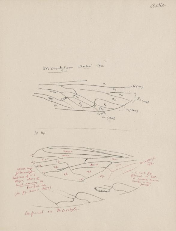Notes on Microstylum wheeleri