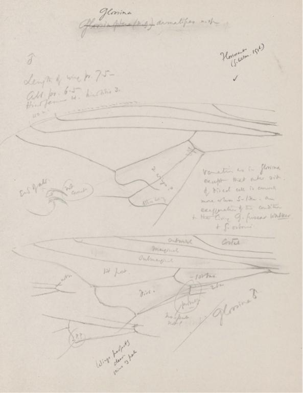Notes on Glossina armatipes