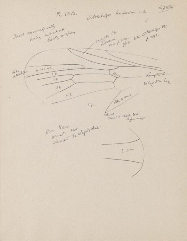 Notes on Atrichops hesperius
