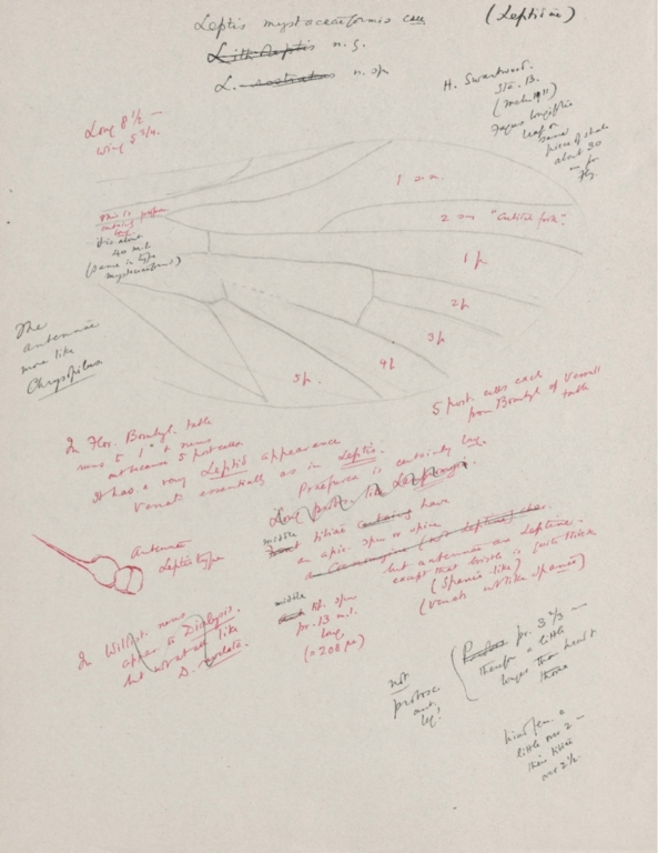 Notes on Leptis mystaceaeformis