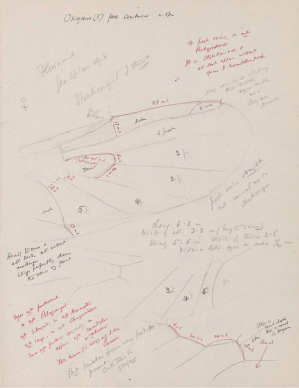 Notes on Oxycera (?) contusa