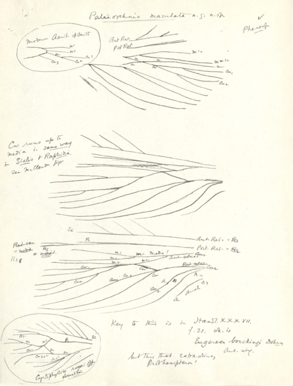 Notes on Palaeorehnia maculata