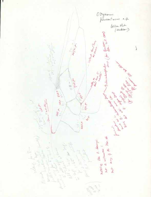 Notes on Odynerus percontusus