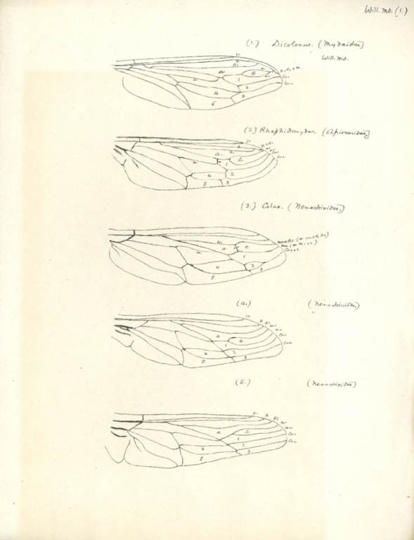 Notes on Dicolonus sp., Rhaphidomydas sp., Colax sp., and Nemestrinidae
