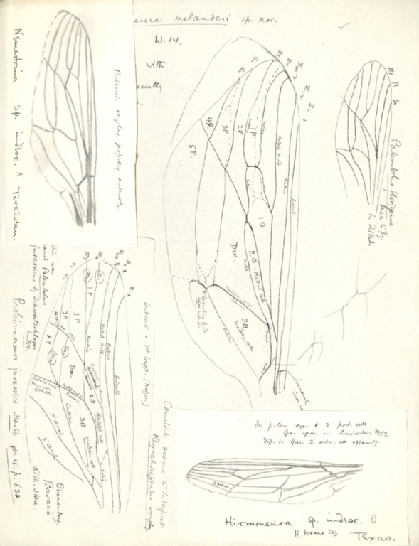 Notes on Hirmoneura melanderi, Palembolus florigerus, Hirmoneurasp., Nemestrina sp., and Prohirmoneura jurassica