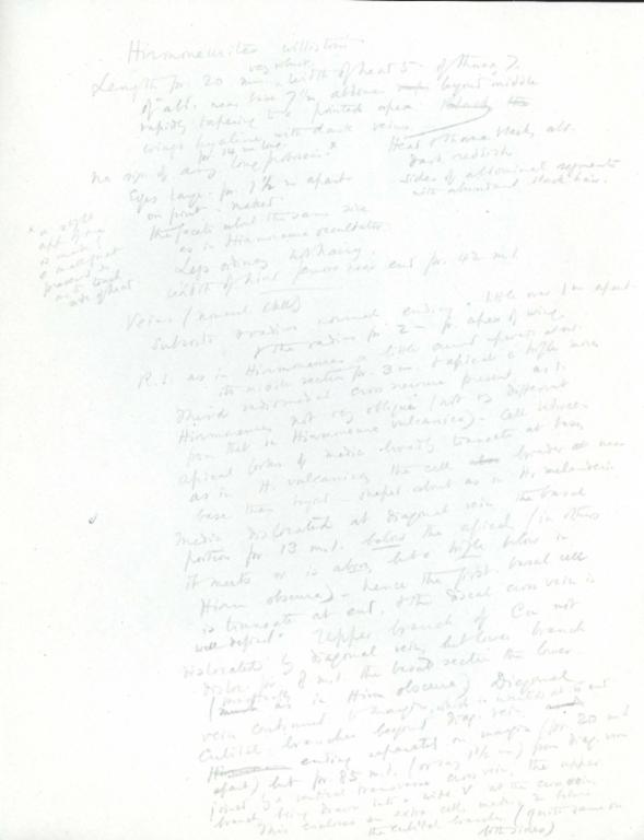Notes on Hirmoneurites willistoni