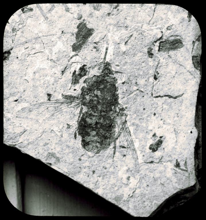 Fossil specimen of Glossina oligocena