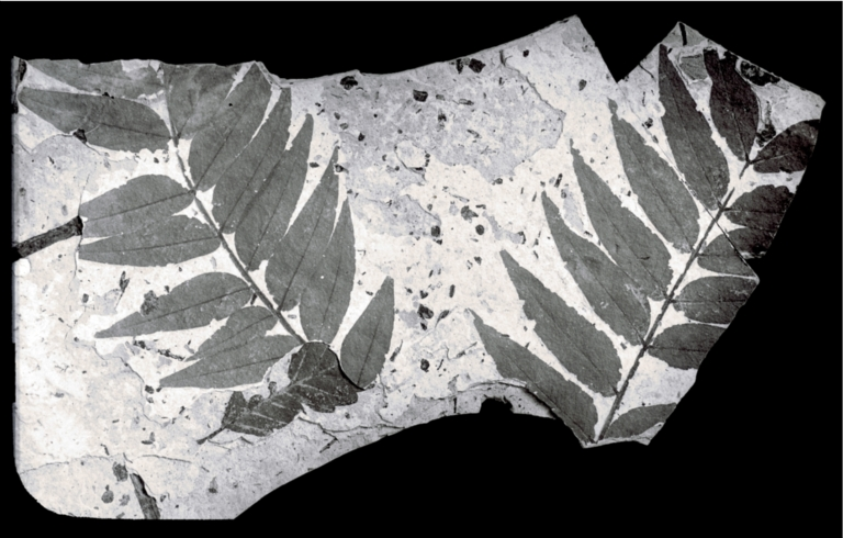 Fossil type specimen of Sapindus coloradensis from Florissant