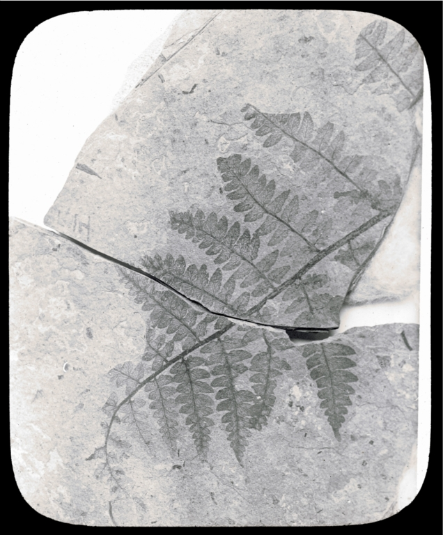 Fossil specimen of Phegopteris guyottii from Florissant