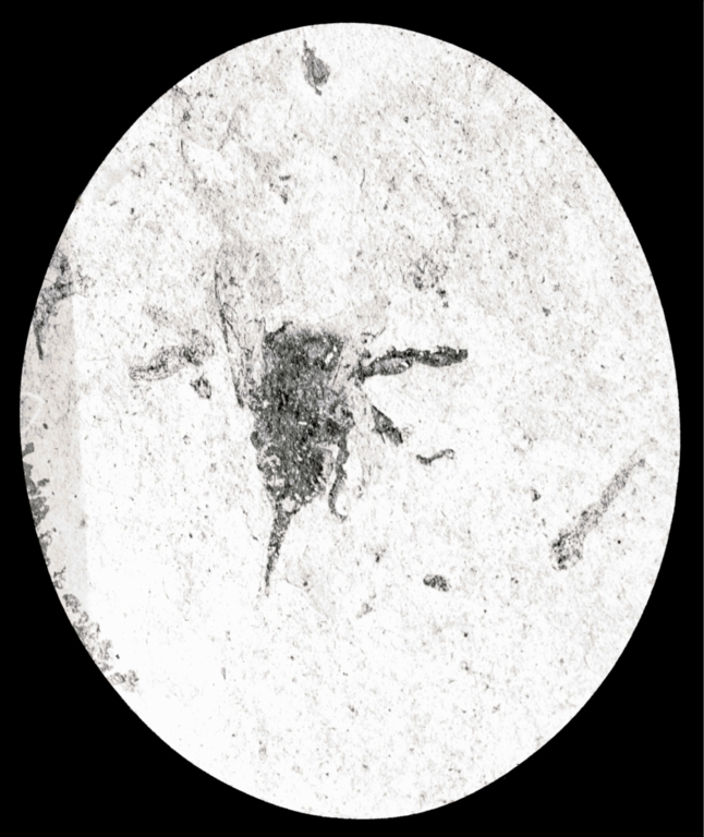 Fossil specimen of Anthophora melfordi from Florissant