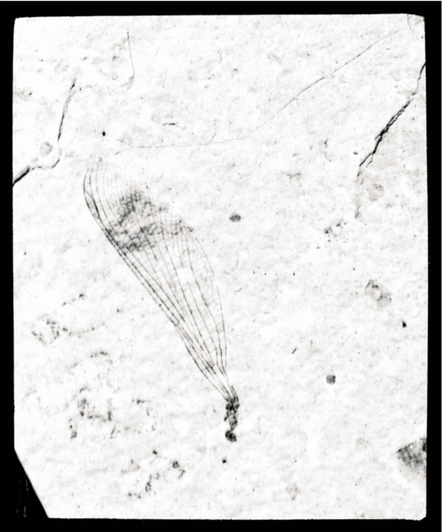 Fossil specimen of Phenacolestes mirandus from Florissant