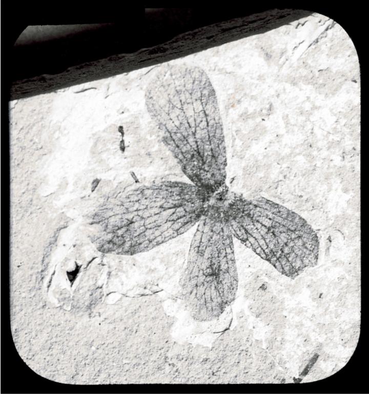 Fossil specimen of Porana tenuix from Florissant