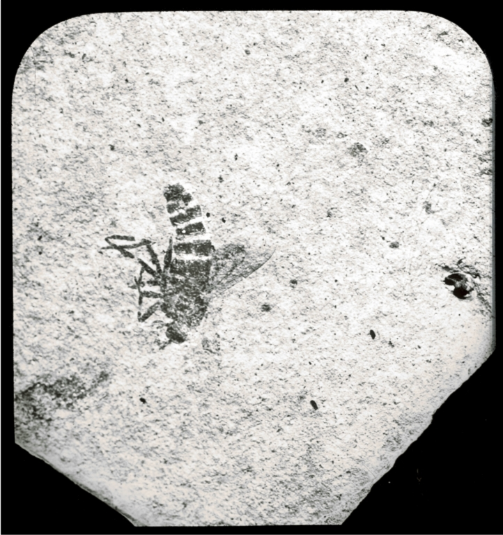 Fossil specimen of an insect