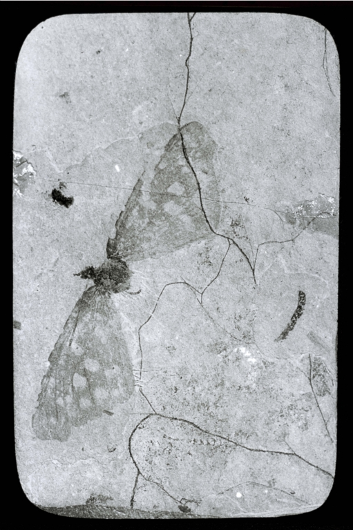 Fossil specimen of an butterfly