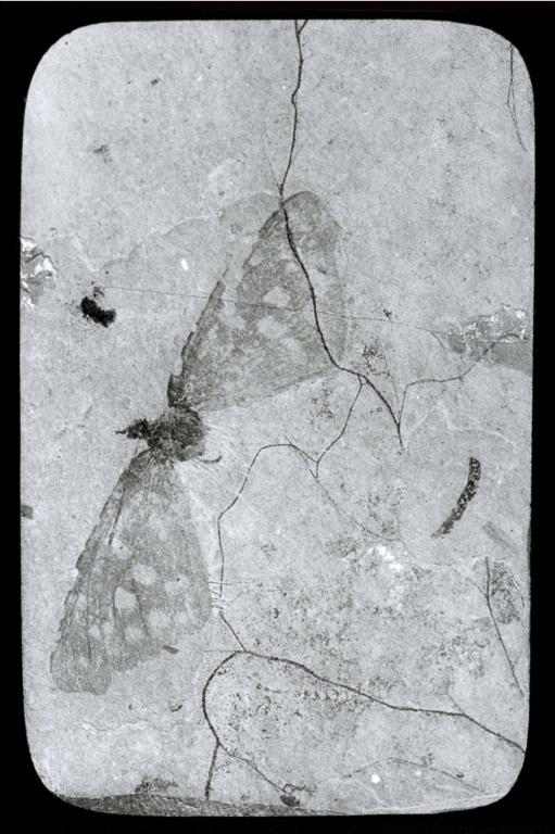Fossil specimen of an butterfly