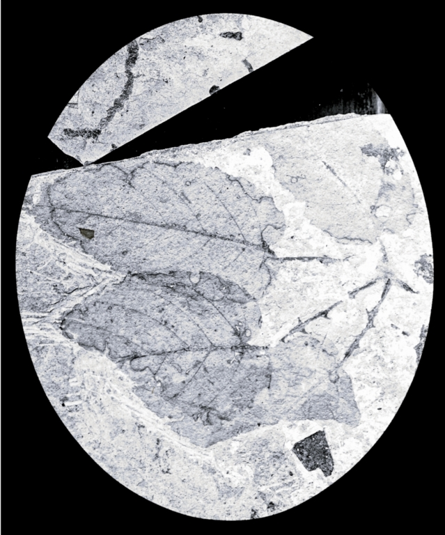 Fossil specimen of Panax andrewsii from Florissant