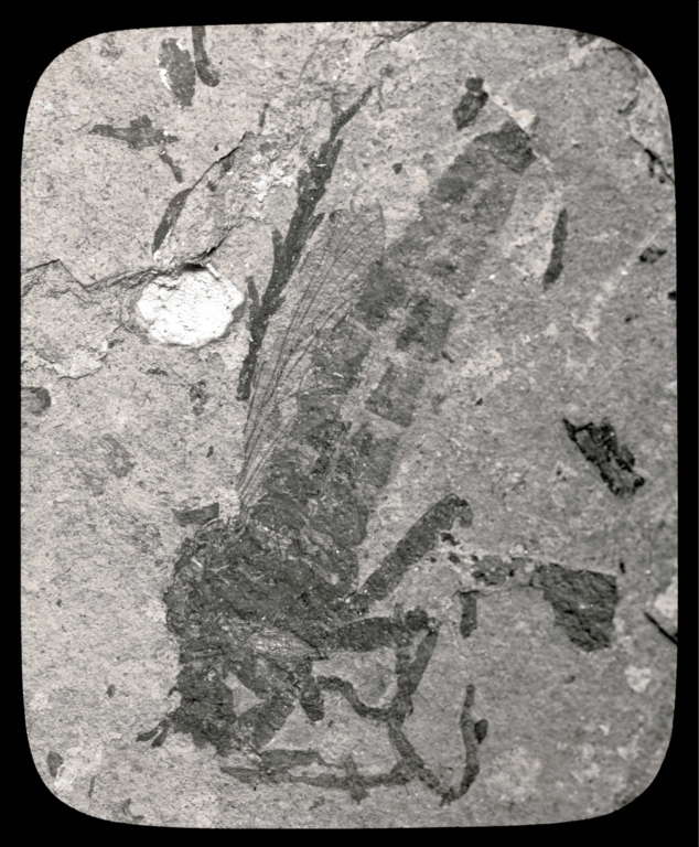 Fossil specimen of Microstylum wheeleri from Florissant