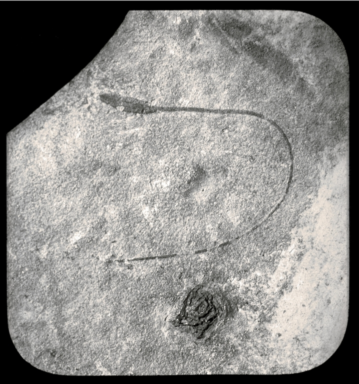 Fossil specimen of Stipa laminarum from Florissant