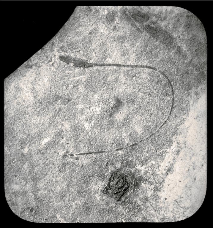 Fossil specimen of Stipa laminarum from Florissant