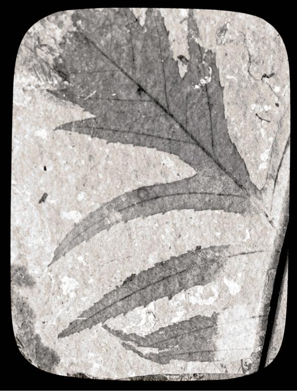 Fossil specimen of Myrica diversifolia from Florissant