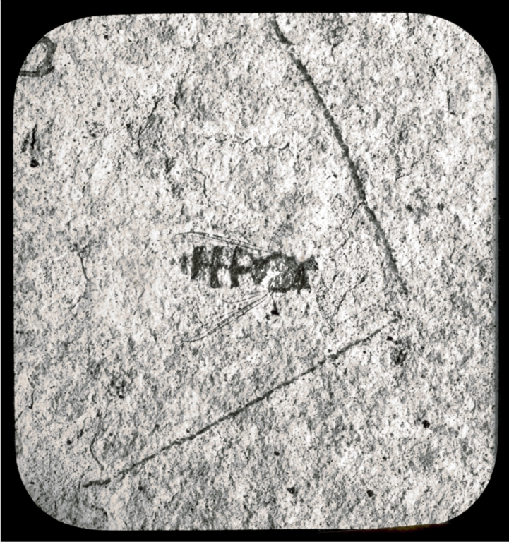 Fossil type specimen of Syrphus willistoni from Florissant