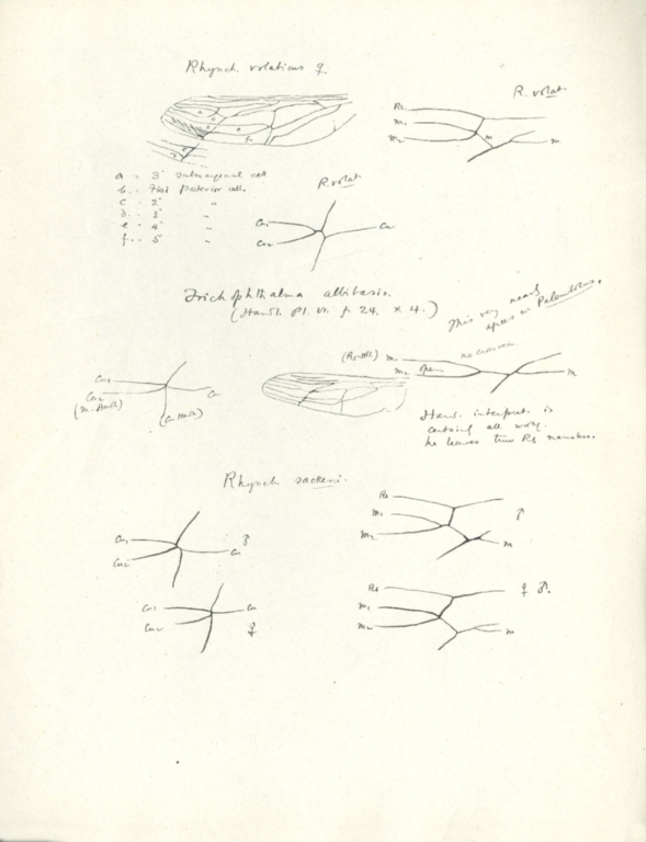 Notes on Rhynchocephalus volaticus, Trichophthalma albibasis, and Rhynchocephalus sackeni