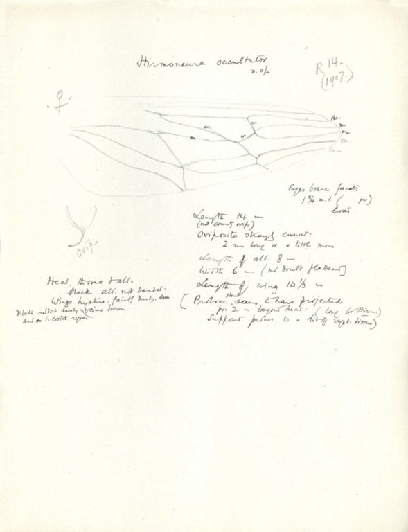 Notes on Hirmoneura occultator