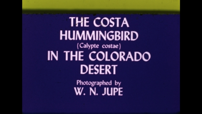 The Costa Hummingbird (Calypte costae) in the Colorado Desert