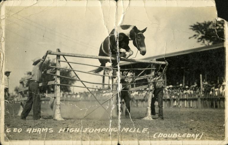 Mule jumping over hurdle