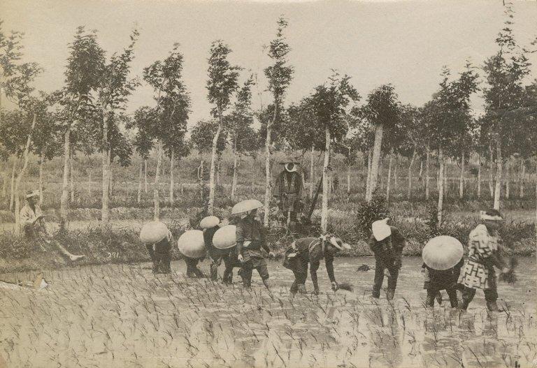 Workers in paddy fields