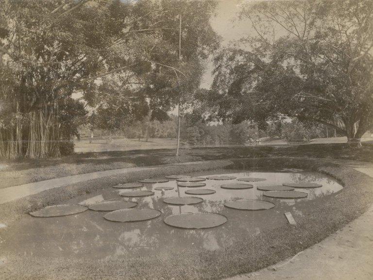 Victoria Regia at the Botanical Gardens, Sri Lanka.