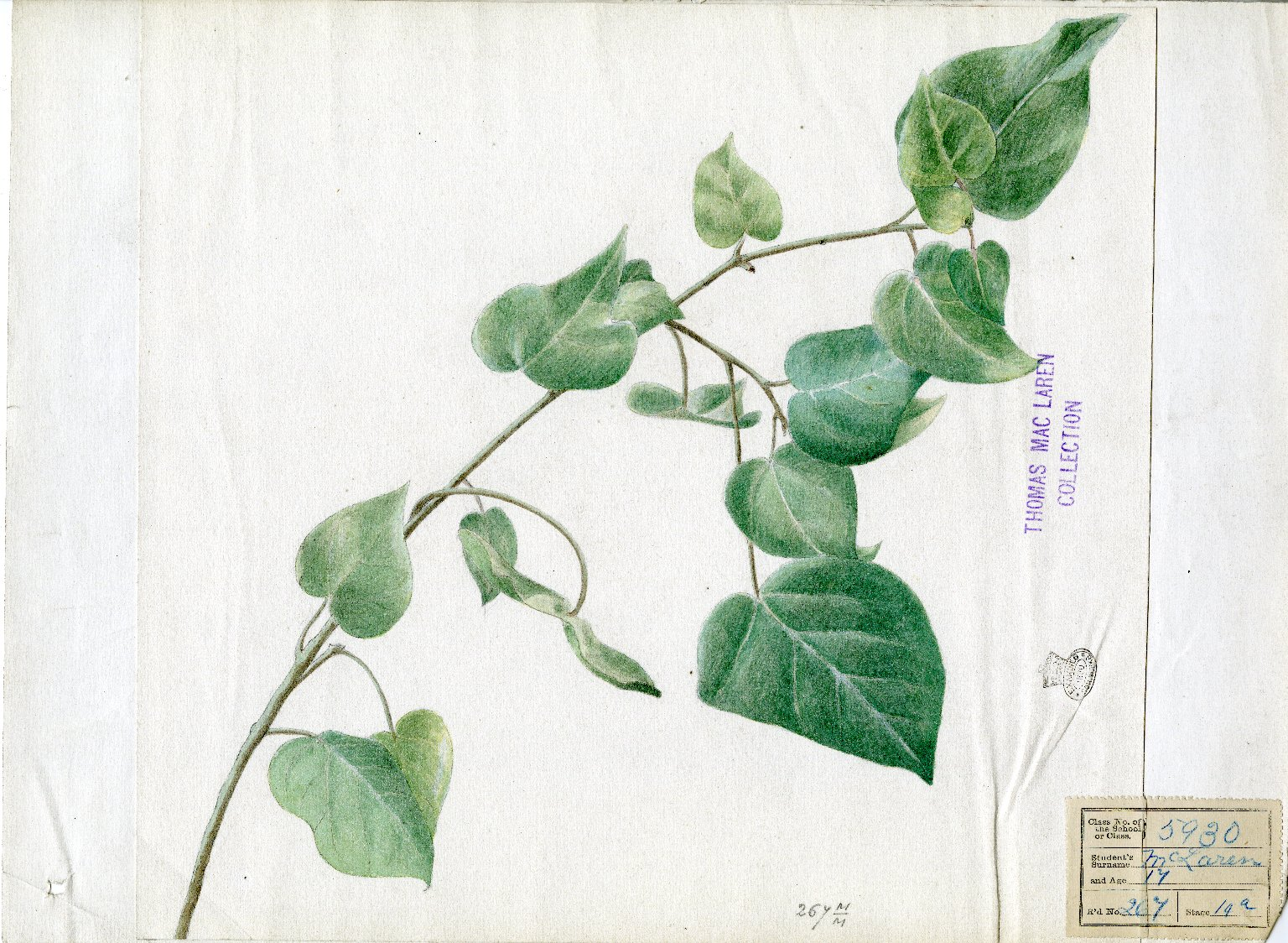 Branch of ivy leaves